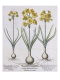 Narcissis Polyanthus Giclee Print by Basil Besler