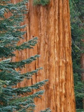 Evergreen and Sequoia Tree Trunk Photographic Print by Aaron Horowitz