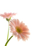 Gerbera daisy Photographic Print by Kiyoshi Miyagawa