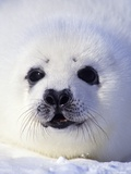 Week-old Harp Seal (Phoca Groenlandica) Pup (whitecoat), Gulf of the St. Lawrence River, Canada. Fotografisk tryk af Wayne Lynch