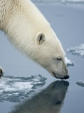 Polar Bear sniffing water Photographic Print by Paul Souders