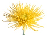 Yellow Chrysanthemum Fuji Flower with Water Droplets Photographic Print by Roderick Chen