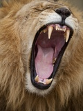 Male lion yawning in Masai Mara National Reserve Photographic Print by Paul Souders