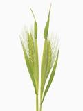 Wild barley (hordeum) Photographic Print by Frank Krahmer