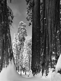 Snow-Covered Sequoias in Sequoia National Park Photographic Print by David Muench