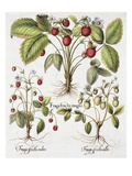 Three Varieties of Strawberry Giclee Print by Basilius Besler