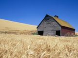 Wheat Crop Growing in Field By Barn Photographic Print by Terry Eggers