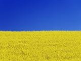 Frank Krahmer - Clear blue sky and rape field Fotografická reprodukce