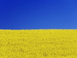 Clear blue sky and rape field Photographic Print by Frank Krahmer