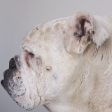 Bulldog Photographic Print by Michael Kloth