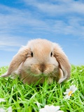Rabbit on grass Photographie