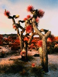 Joshua Trees in Bloom Photographic Print by Paul Edmondson