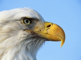 Bald Eagle Profile Photographic Print by John Conrad