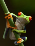 Tree Frog in Costa Rica Fotografie-Druck von Paul Souders