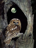 Tawny Owl Perched in Tree Below Nearly Full Moon Photographie par George Mccarthy