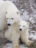 Polar Bear, Ursus Maritimus, Sow and Cub in the Churchill Wildlife Management Area, Hudson Bay, Chu Photographic Print by Rolf Hicker
