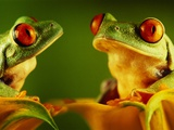 Red-Eyed Tree Frogs Photographic Print by David Aubrey