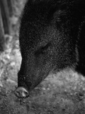 Peccary Photographic Print by Henry Horenstein