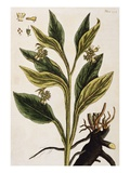 Comfrey Giclee Print by Elizabeth Blackwell