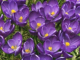 Crocuses Photographic Print by Frank Krahmer