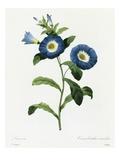 Convolvulus Tricolor Premium Giclee Print by Pierre-Joseph Redouté