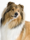 Rough collie show dog Photographic Print by Barry Lewis