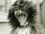 Cat Yawning Photographic Print by Bill Varie