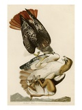 Red-Tailed Hawk Reproduction procédé giclée par John James Audubon