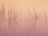 Hardsten Bulrush (scirpus Acutus) Manitoulin Island, Lake Mindemoya, Ontario, Canada Photographic Print by Don Johnston