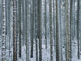 Lodgepole Pine Trees Frosted with Snow Fotodruck von Jeff Vanuga
