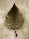 Poinsettia Leaf Fotografisk tryk af John Kuss