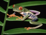 Red-Eyed Leaf Frog Photographic Print
