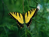 Tiger Swallowtail Butterfly Photographic Print by Jim Zuckerman