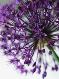 Allium Photographic Print by David Roseburg
