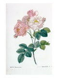 Rosa Demascena Giclee Print by Pierre Joseph Redoute