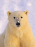 Polar Bear Yearling Photographic Print by John Conrad