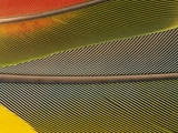 Detail of Scarlet Macaw Feathers Photographic Print by Stuart Westmorland