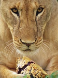 Lioness Eating a Turtle Photographic Print by Joe McDonald
