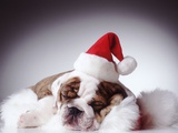 Bulldog Wearing Santa Hat Photographic Print by Larry Williams