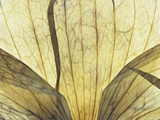 Translucent Petals 9 Photographic Print by David Roseburg