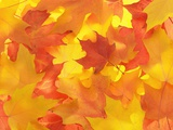Fall Colored Maple Leaves Photographic Print by Tom Grill