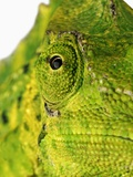 Eyes of a Meller's Chameleon Photographic Print by Martin Harvey