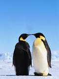 Emperor Penguins Greeting Photographic Print by John Conrad