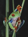 David Northcott - Red-Eyed Tree Frog Climbing through Plant Stems - Fotografik Baskı