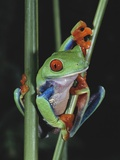 Red-Eyed Tree Frog Climbing through Plant Stems Photographic Print by David Northcott