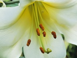Close Up of Lilium Longiflorum Photographic Print by Clay Perry