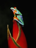 Red-Eyed Tree Frog Photographic Print by Robert Marien