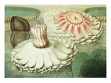 Victoria Regia or the Great Water Lily of America (Intermediate Stages of Bloom) Giclee Print by William Sharp