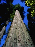 Tree Trunk of Coastal Redwood Photographic Print by Doug Wilson