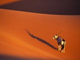 Oryx Antelope on Sossusvlei Sand Dune Photographic Print by Theo Allofs
